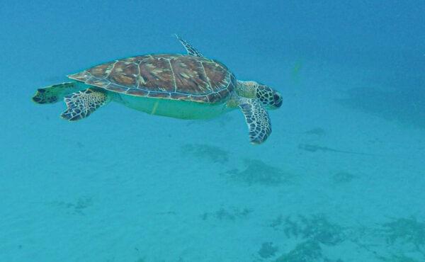 Nager avec des tortues en Martinique