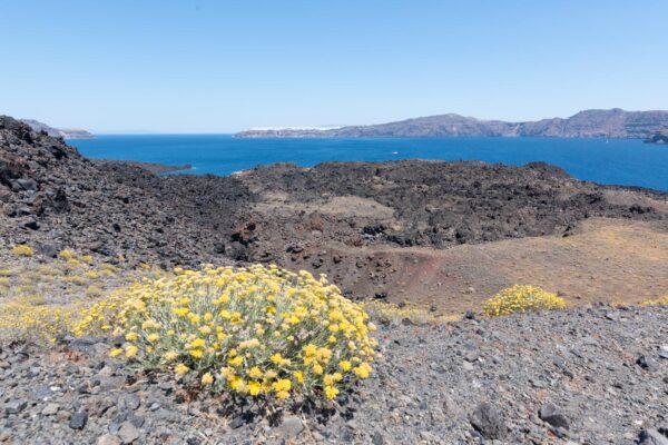 Végétation sur le volcan de Santorin
