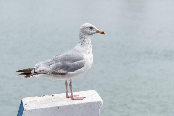 Goéland sur l'île Tatihou