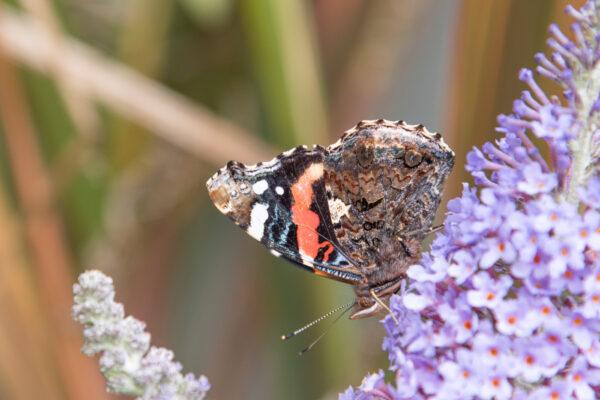 Papillon sur l'île Tatihou en Normandie